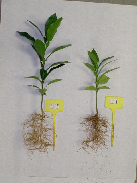 Agricultura utiliza micorrizas y fertilización nitrogenada para paliar los efectos negativos del riego con aguas salinas en cítricos - 2, Foto 2