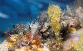 Los pescadores del Mar Menor serán homenajeados por su contribución a la campaña sobre capturas del caballito de mar