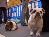 Bulldogs franceses, ingleses, pastores alemanes, caniches, así hasta 45 razas diferentes se han disputado el I Concurso Canino de Santomera celebrado en el Pabellón Multiuso durante el fin de semana
