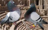 VIII Campeonato-exposición de palomas de raza Ciudad de Cartagena