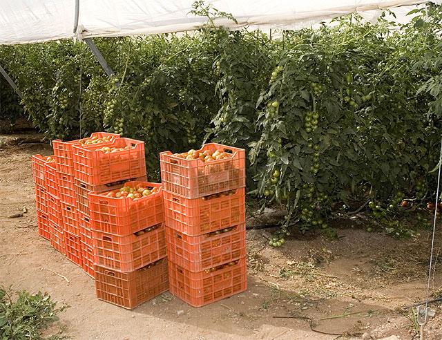 Curso gratuito especializado sobre el cultivo del tomate, Foto 1