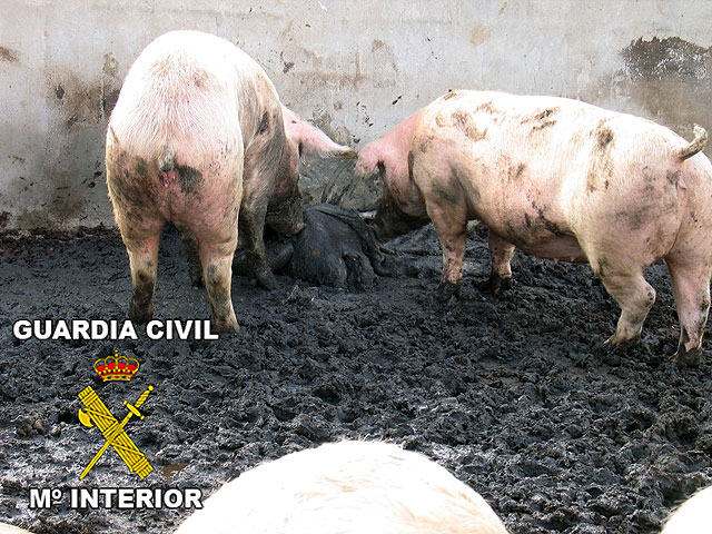 "The Civil Guard immobilized 462 pigs at a farm in Totana, in ""Operation PIGLETS"""