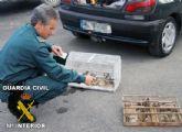 El SEPRONA de la Guardia Civil decomisa 75 aves fringílidas capturadas furtivamente