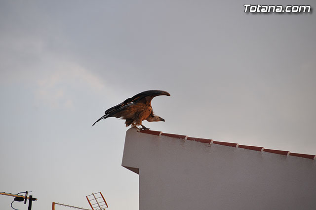 Un buitre en Totana - 17