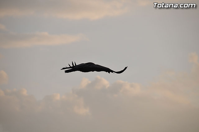 Un buitre en Totana - 20
