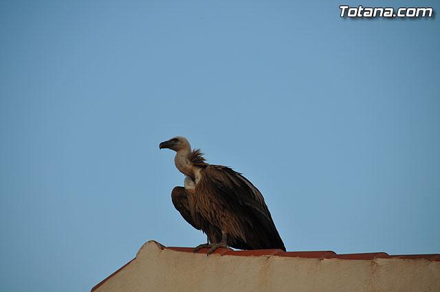 Un buitre en Totana - 28