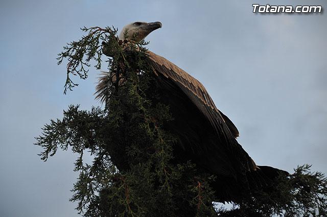 Un buitre en Totana - 48