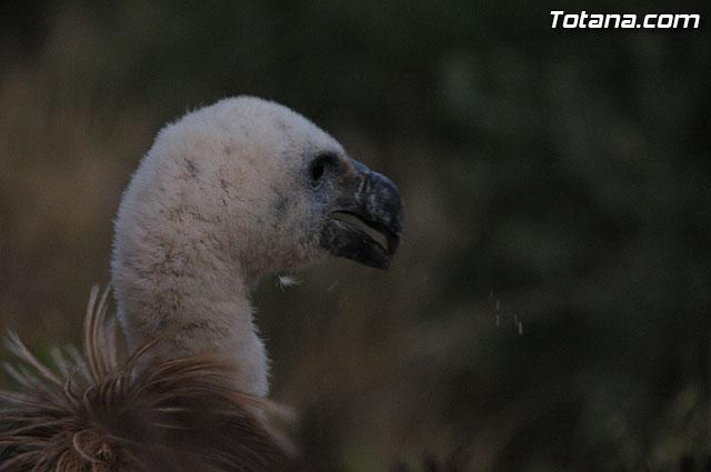Un buitre en Totana - 68