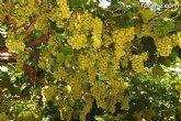 Los agentes de la Policía Local de Totana abortan el robo de casi 500 kilos de uva