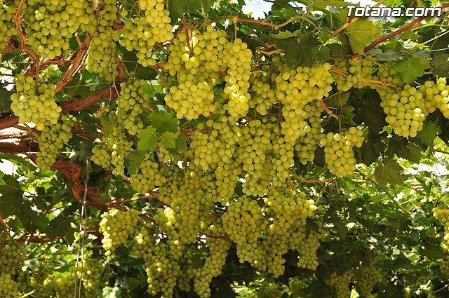 ASAJA: La campaña de uva dominga de este año supera en calidad a la de otras temporadas en la Regi�n de Murcia, Foto 1