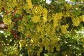 ASAJA: La campaña de uva dominga de este año supera en calidad a la de otras temporadas en la Región de Murcia