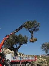 Replantan varias oliveras desde el vivero municipal del Arreaque hasta la localidad