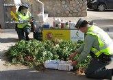 La Guardia Civil desmantela un punto de producción y distribución de marihuana en la comarca del Mar Menor