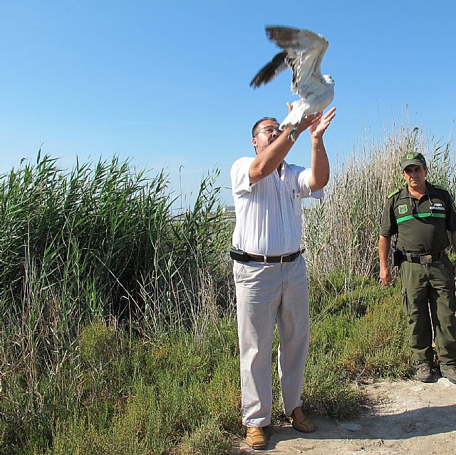 Agricultura libera una gaviota de Audouin y una cigüeñuela, en el Parque Regional de las Salinas y Arenales de San Pedro del Pinatar - 1, Foto 1