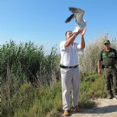 Agricultura libera una gaviota de Audouin y una cigüeñuela, en el Parque Regional de las Salinas y Arenales de San Pedro del Pinatar
