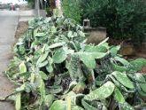 IU alerta de la proliferación de la plaga en las paleras de Totana