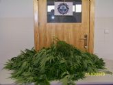 Incautan varias plantas de marihuana localizadas dentro de un turismo