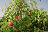 Agricultura obtiene tres nuevas variedades de melocotón en colaboración con la empresa Novamed