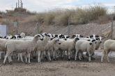 La Granja de la Universidad de Murcia recibe un rebaño de ovejas Montesinas para la investigación y las prácticas de alumnos