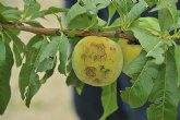 Agricultura envía a Cieza productos fungicidas para tratar la madera de los frutales dañados por la granizada del pasado sábado