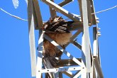 """ANSE: """"Una línea eléctrica acumula diez grandes rapaces electrocutadas, incluyendo seis águilas perdiceras"""""""
