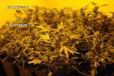 La Guardia Civil desmantela un punto de cultivo y distribución de marihuana en Alguazas