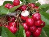 Agricultura desarrollará nuevos trabajos para incrementar el cultivo del cerezo en la Región hasta llegar a las 1.000 hectáreas