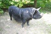 Agricultura impulsa la recuperación de las razas de ganado autóctonas en peligro de extinción