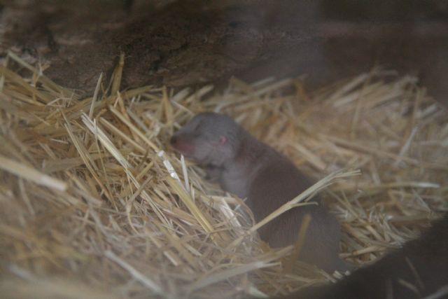 El parque de naturaleza Terra Natura Murcia celebra el nacimiento de una nueva cría de nutria - 1, Foto 1