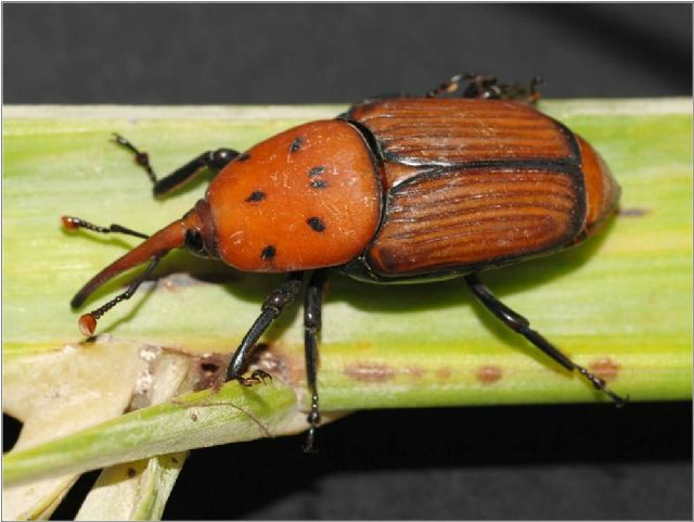 The Department of Agriculture will take place next January 19th a talk on the red palm weevil plague that affects the palms