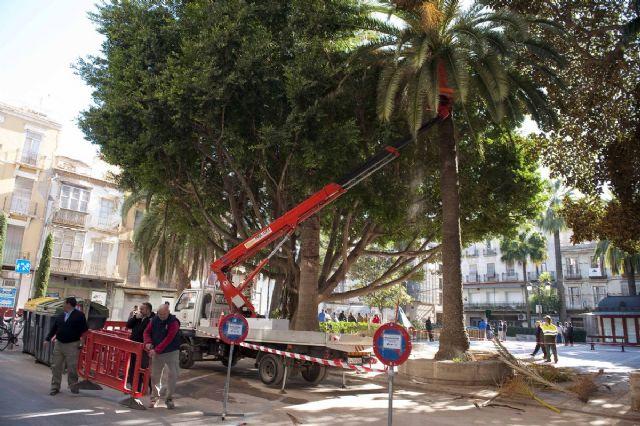 El Ayuntamiento repasa los ficus monumentales de la Plaza San Francisco - 4, Foto 4