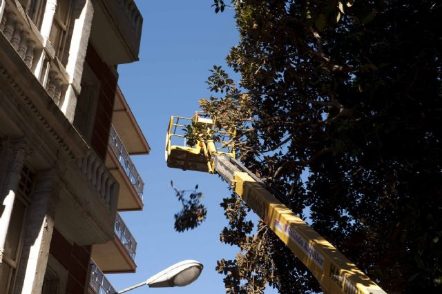 El Ayuntamiento repasa los ficus monumentales de la Plaza San Francisco - 5, Foto 5