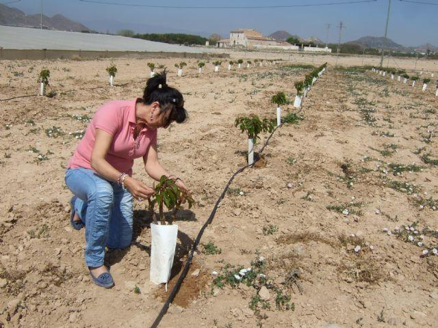 Se prueban nuevas variedades de cerezo como cultivo experimental en Mazarrón - 1, Foto 1