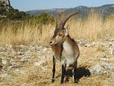 La orden de caza 2012-2013 incluye medidas de gesti�n cineg�tica para controlar la poblaci�n de arru� en la Regi�n de Murcia