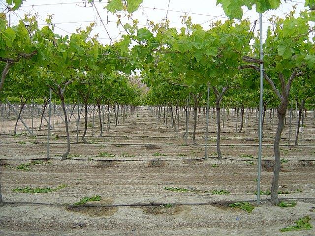 Agricultura evalúa con productores de uva de mesa de Cieza una reducción de entre el 15 y el 25 por ciento del riego y abonado - 1, Foto 1