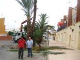 El ayuntamiento examina 250 palmeras datileras para luchar contra el picudo rojo