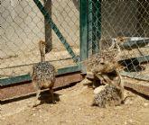 Terra Natura Murcia celebra el nacimiento en cautividad de tres avestruces en sus instalaciones
