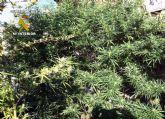 La Guardia Civil desmantela un punto de producción y distribución de marihuana en Archena