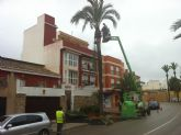 La concejalía de Servicios procede al podado y tratamiento del picudo de las palmeras con más de tres metros de altura en las avenidas de Totana