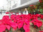 Murcia se viste de Navidad con 12.000 flores de Pascua