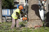 Infraestructuras procede a la tala de 67 palmeras afectadas por el picudo rojo