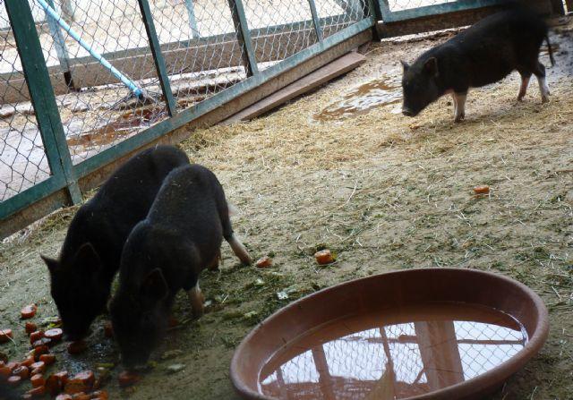 Terra Natura Murcia amplía su catálogo de especies con la llegada de tres cerdos vietnamitas - 1, Foto 1