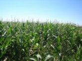 Agricultura evaluará la rentabilidad del cultivo de maíz dulce en el Campo de Cartagena