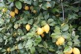 Agricultura destaca la creciente tendencia a la exportación de las producciones murcianas de limón