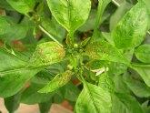Agricultura identifica el pulgón más dañino que afecta al cultivo de pimiento en invernadero y su principal enemigo natural