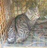 La Comunidad libera un gato montés en Mula tras permanecer en el Centro de Recuperación de Fauna Silvestre