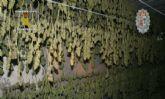 Realizada la mayor incautación de plantas de marihuana en España hasta la fecha
