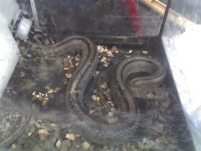 Protecci�n Civil retira una serpiente en la calle Pilar que hab�a causado la alarma entre vecinos, Foto 1