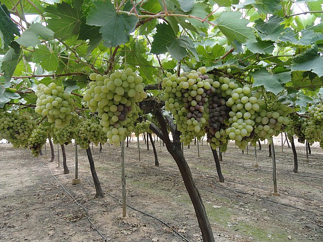 COAG criticized for poor management of agricultural insurance table grape industry will cause serious damage to producer, Foto 4