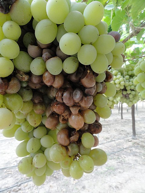 COAG criticized for poor management of agricultural insurance table grape industry will cause serious damage to producer, Foto 5